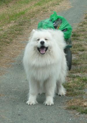 Siberian Samoyed dog