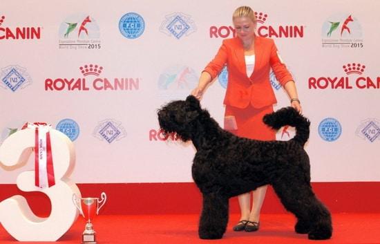 Best Black Russian Terrier Junior