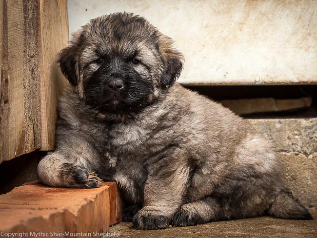 shar mountain puppy