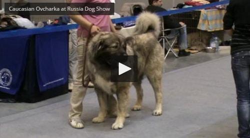 caucasian shepherd at-dog show