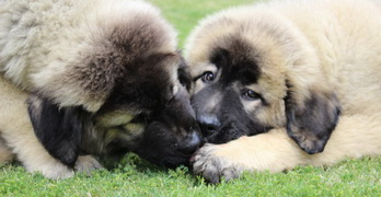 Caucasian Shepherd for Sale or Adoption