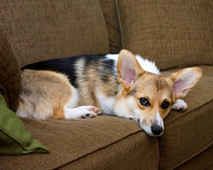 welsh corgi female on the sofa