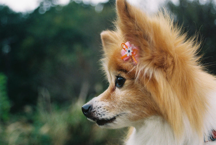 papillon dog girl