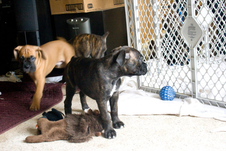 boxer fawn and brindle puppies