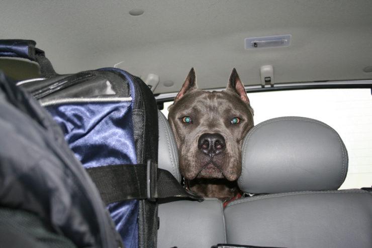 cane corso in the car