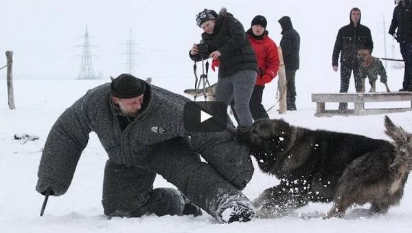 caucasian shepherd for sale russian dog