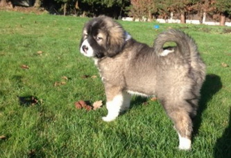 lancaster caucasian shepherd puppy