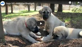 Where in the USA can I Buy a Kangal Dog?