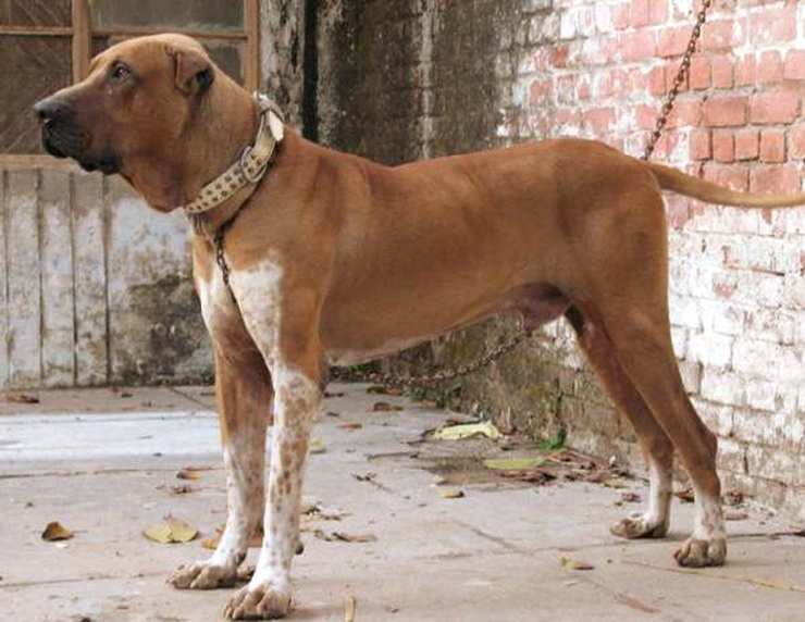 Best Indian Breed Guard Dogs