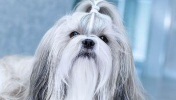 How Long Does It Take To House Train A Shih Tzu Dog
