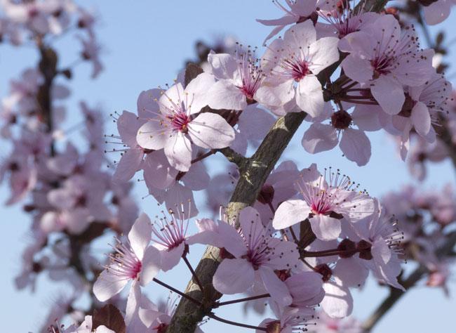 Arrosage du cerisier  fleurs