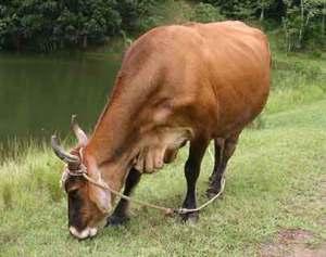 bike-cow