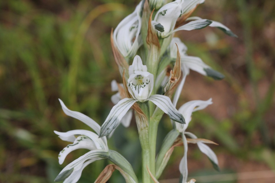 Chloraea multiflora Lindl