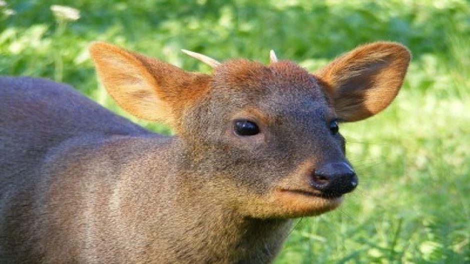 Pudu Guia de Fauna RutaChile