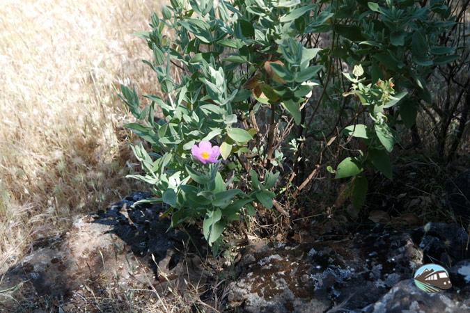 Rosa de Alejandría en Sierra de Alor - Alqueva