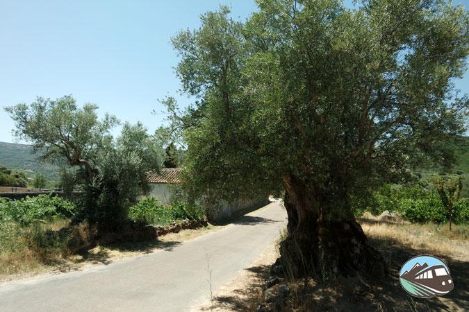 Olivos centenarios – Lagares Rupestres
