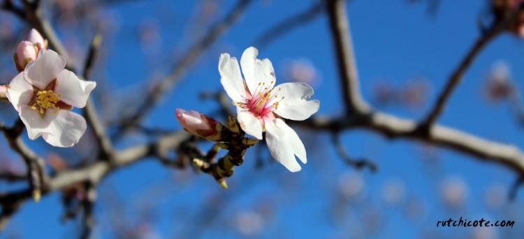 flor de almendro2