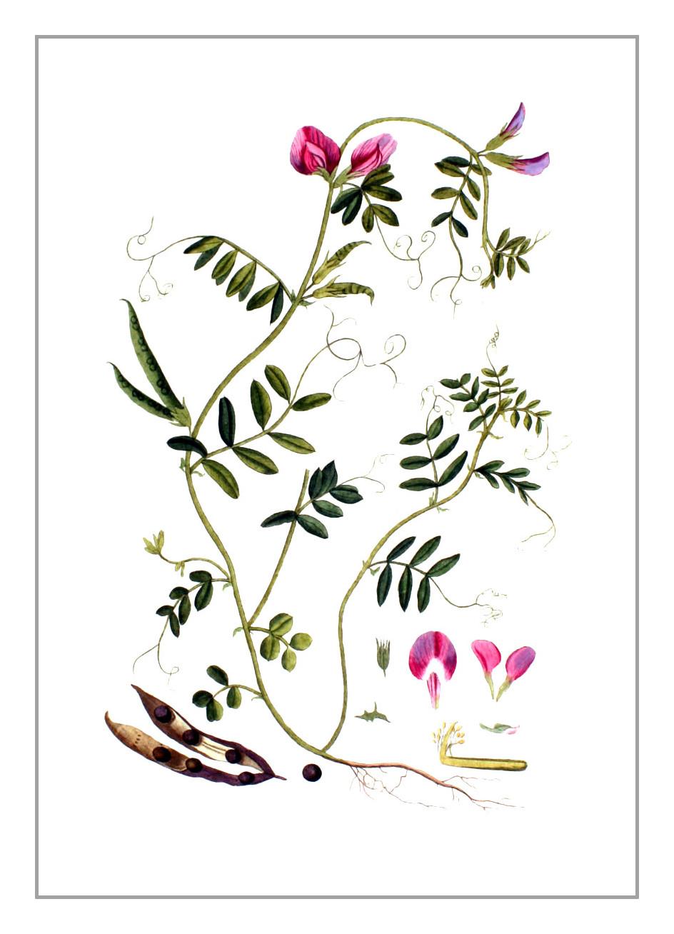 Futterwicke – Vicia sativa