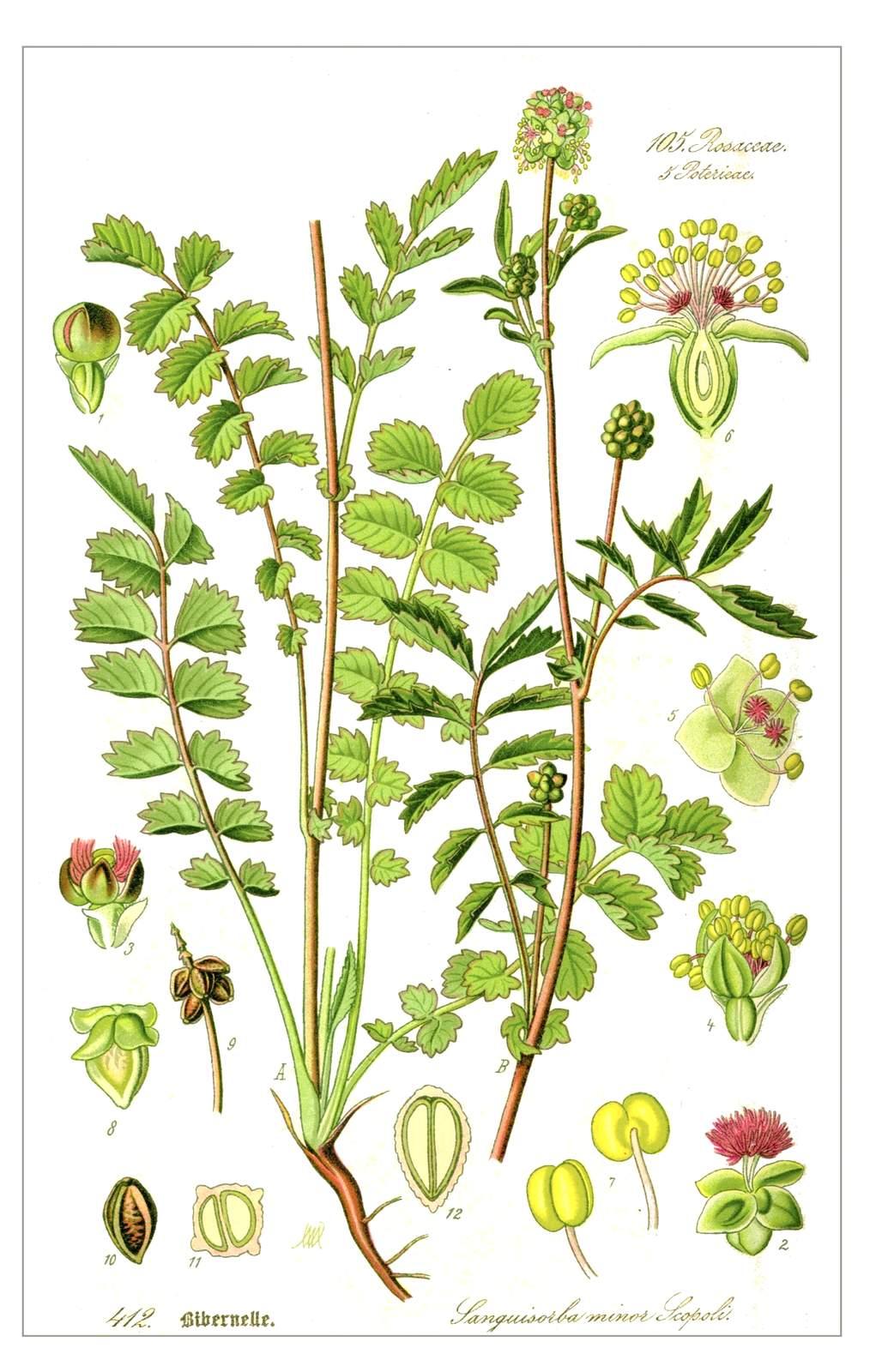 Kleiner Wiesenknopf – Sanguisorba minor