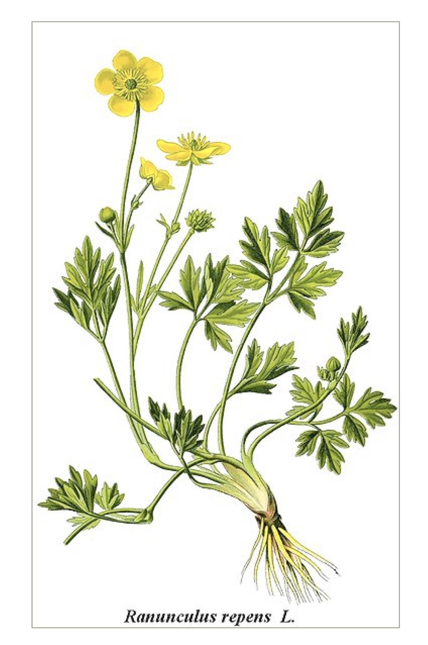 Kriechender Hahnenfuß – Ranunculus repens