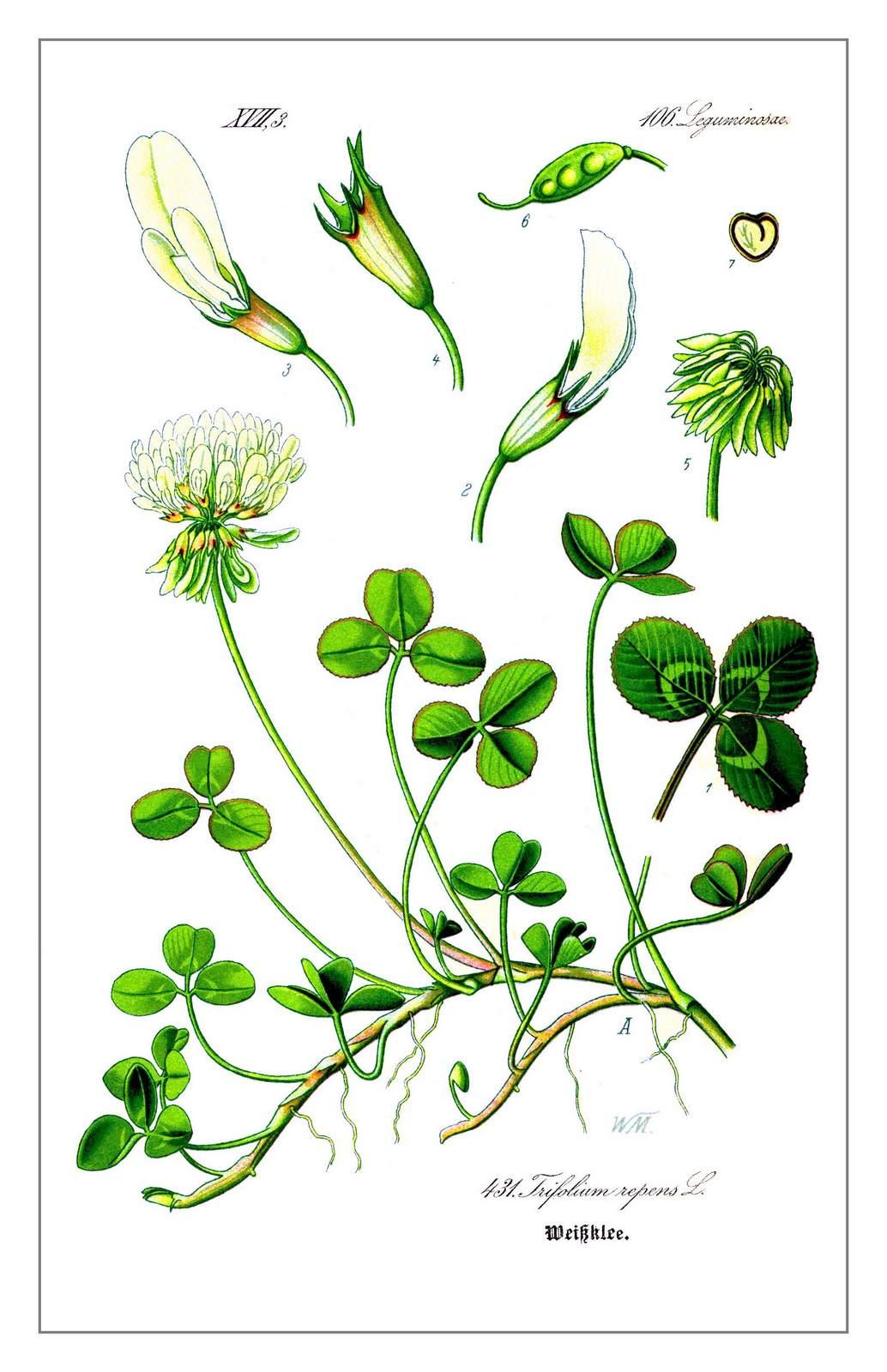 Weißklee – Trifolium repens