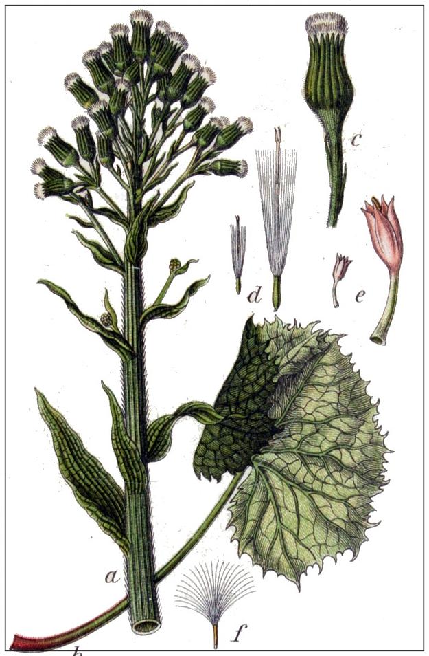 Gewöhnliche Pestwurz – Petasites hybridus