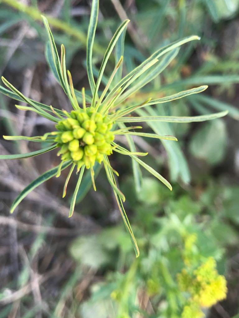 Zypressen-Wolfsmilch – Euphorbia cyparissias