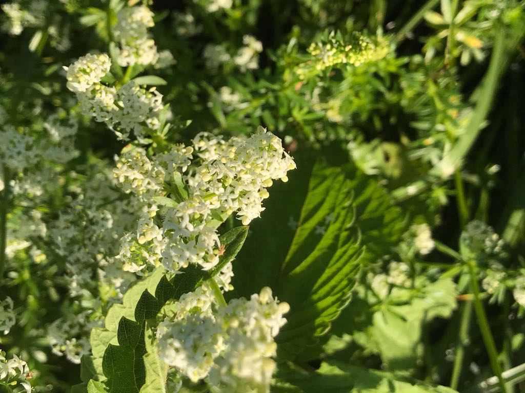 Wiesen-Labkraut – Galium mollugo