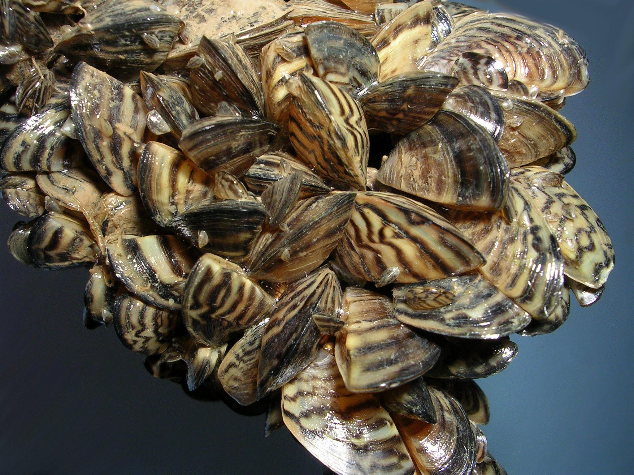 Zebra Quagga Mussel