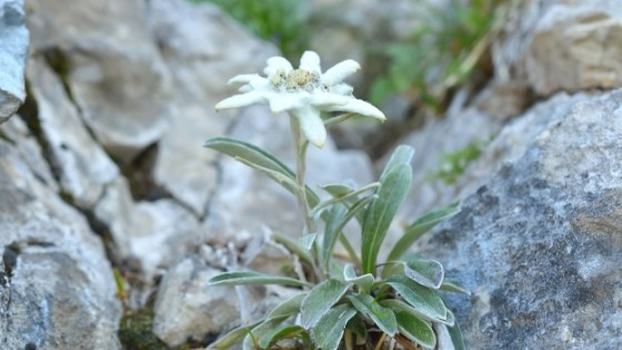 A resilient alpine flower