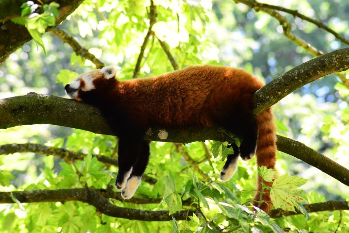 Article about getting enough sleep, showing photo of red panda sleeping in a tree.