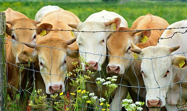 Five light brown cows looking through a wire boundary fence