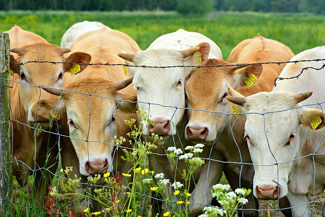Five light brown cows in a field standing together looking through a wire boundary fence