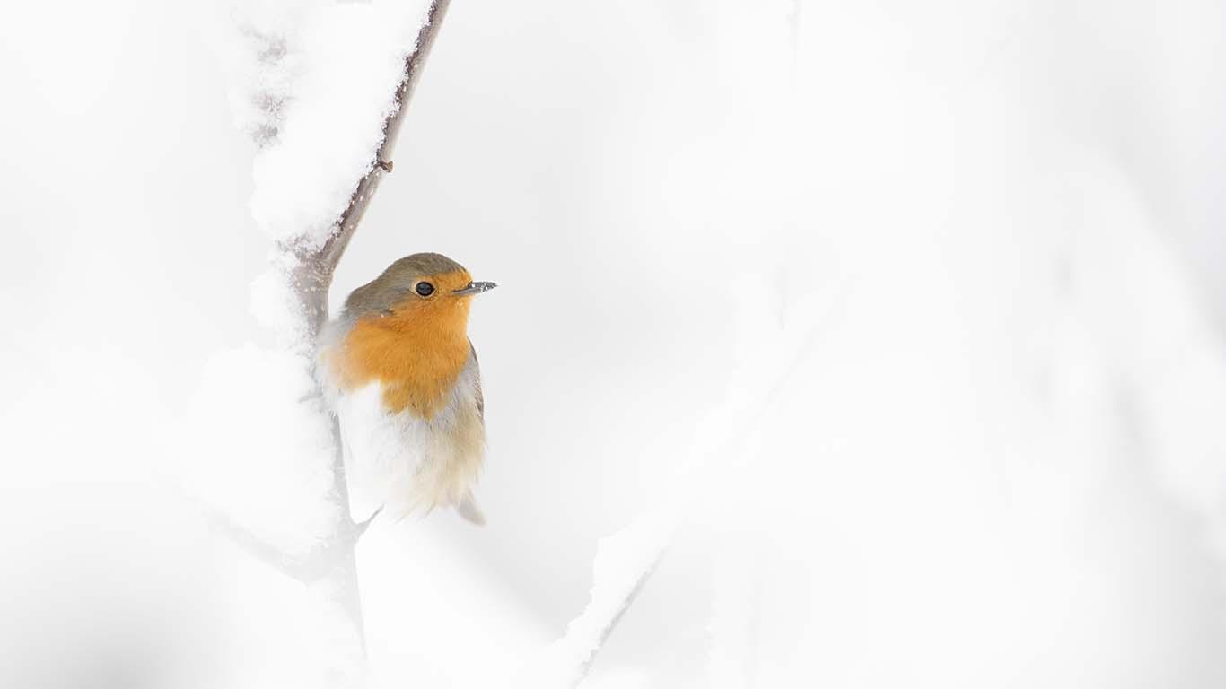 mata vinterfåglarna. Rödhake © Foto Roger Vikström