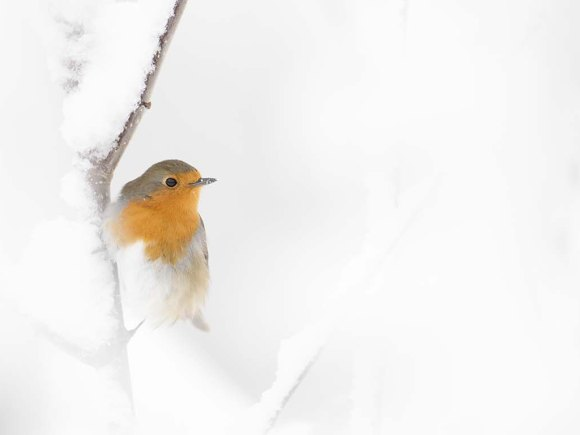 mata vinterfåglarna. Rödhake