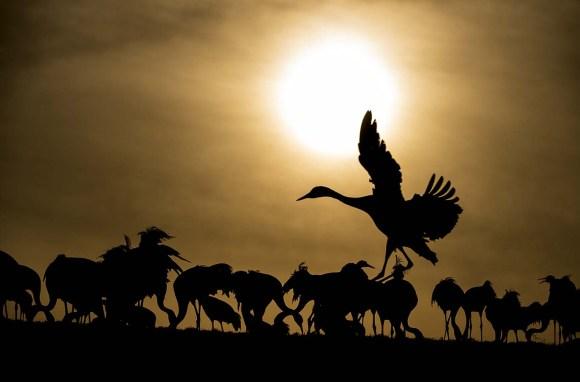 Fotografera bofink och andra fåglar.Tranor Hornborgarsjön