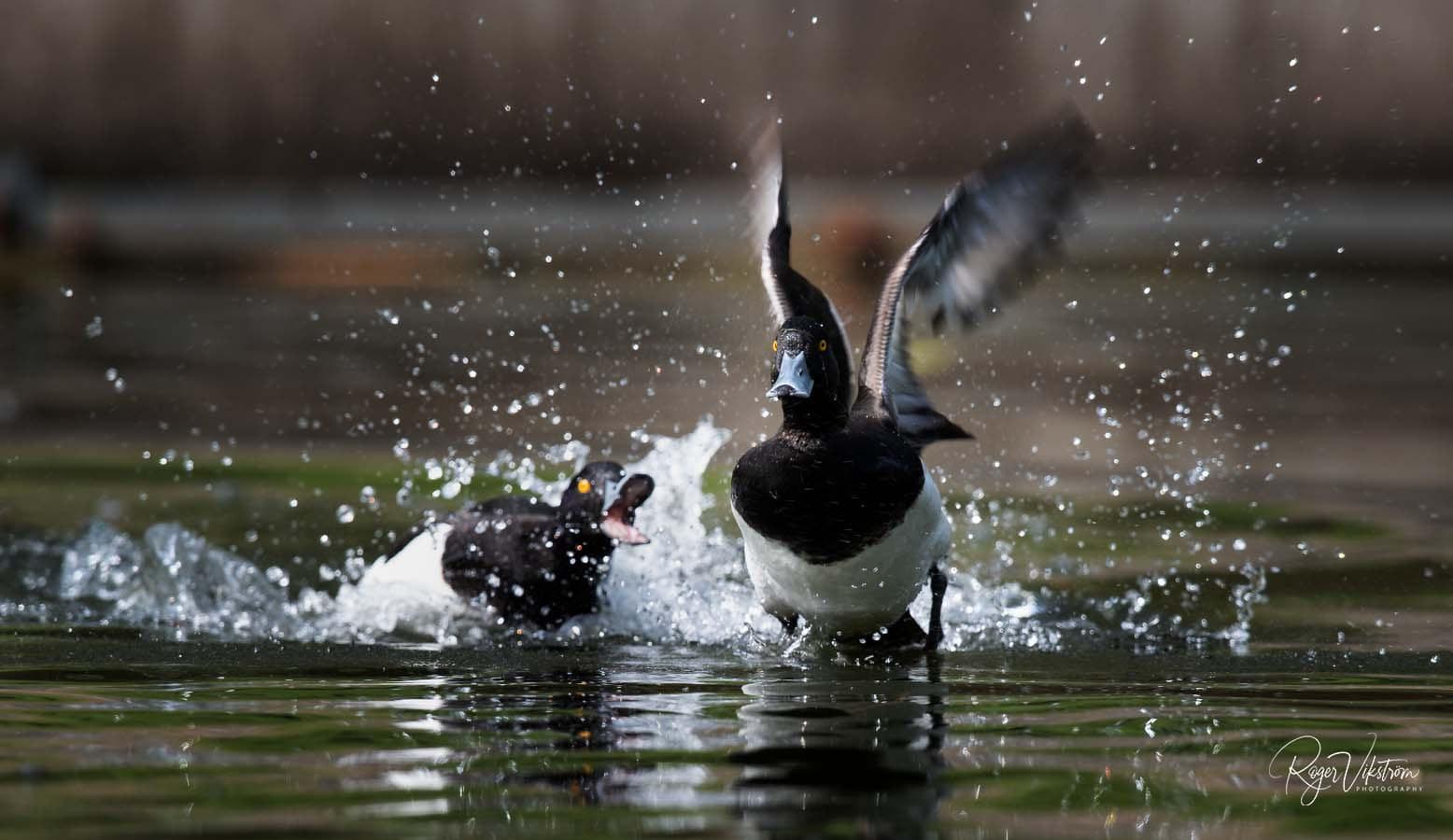 Med naturen i fokus,sjöfågel