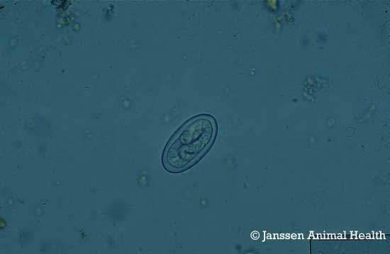 Pig eggs Physocephalus sexalatus