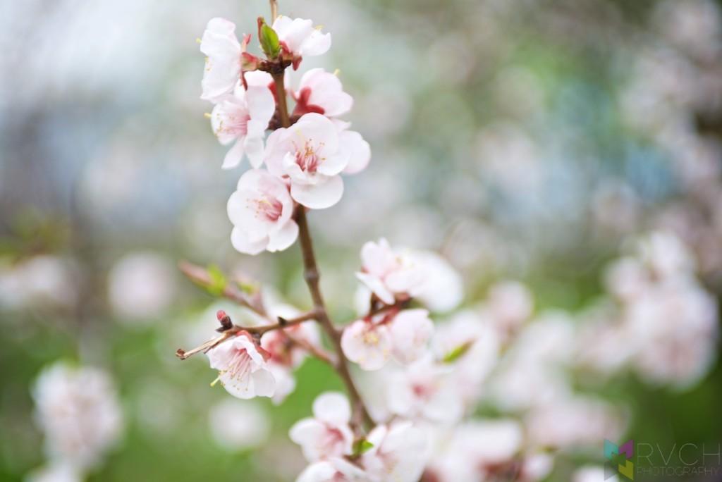 Khabarovsk Cherry Blossom