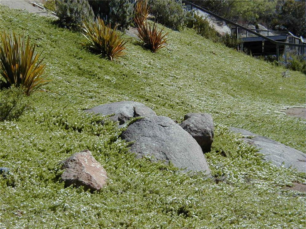 Myoporum Slope