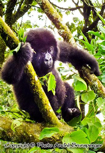 Gorille Ouganda - Circuit safari 4 jours Ouganda