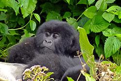 Bébé Gorilles - Circuit safari 12 jours Rwanda Ouganda