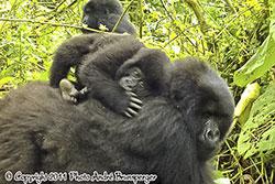 Gorilles - Circuit safari 12 jours Rwanda Ouganda