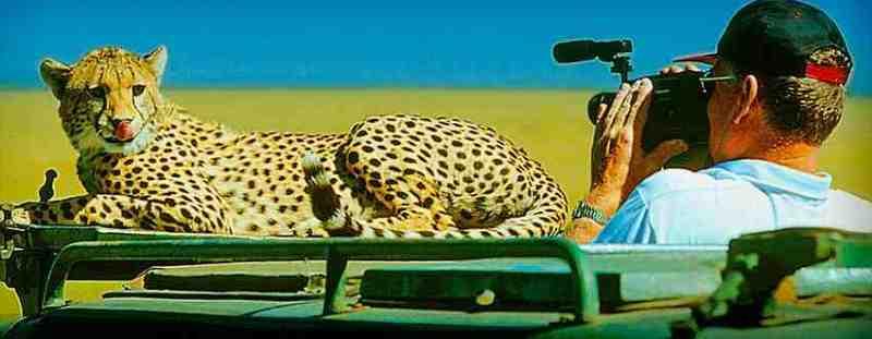 Guépard sur la voiture au Masaï Mara et tire la langue - Nos safaris au Kenya