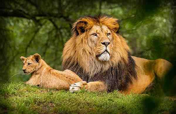 Lions au parc Queen Elisabeth en Ouganda - Circuit safari 7 jours Ouganda