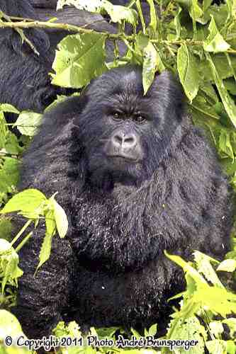 Gorille dos argenté - Safari 4 jours Gorilles lac Kivu