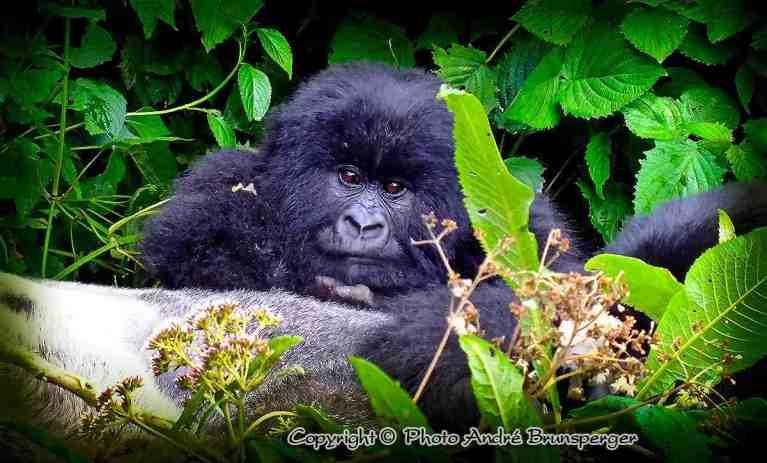 Safari 4 jours gorilles lac kivu Rwanda Ouganda, safaris sur mesure, Gorilles des montagnes