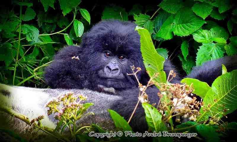 Circuit Safari 8 jours Ouganda Rwanda. safaris sur mesure, Gorilles des montagnes