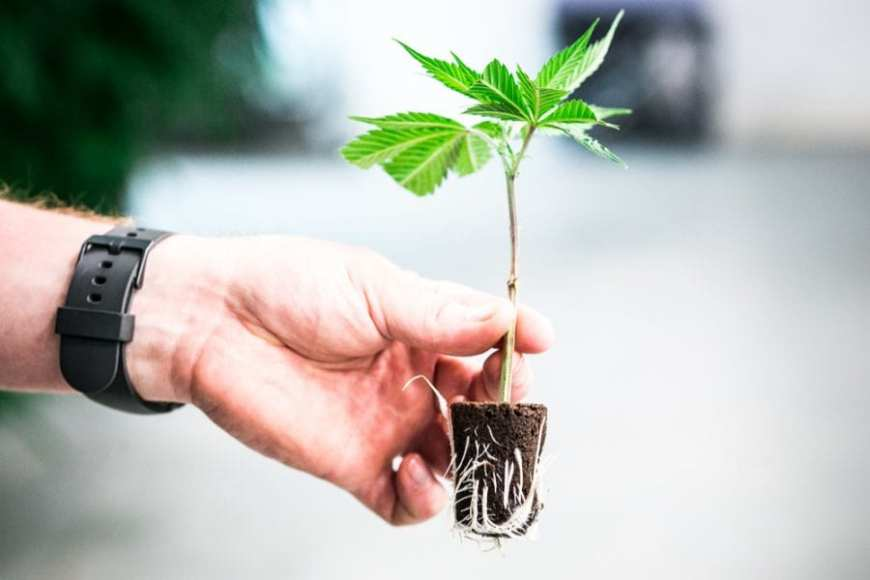 Cannabis Roots from a clone held out by male hand, root