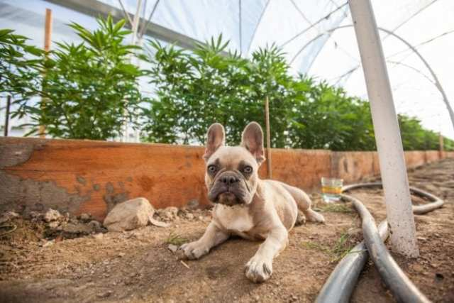 French Bulldog in grow